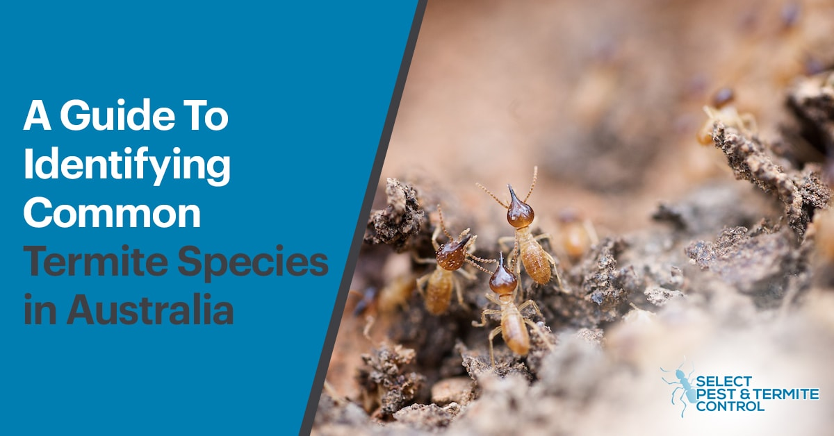 A Guide To Identifying Common Termite Species In Australia