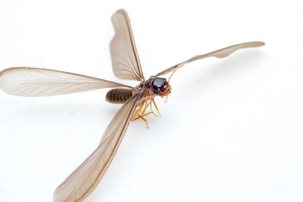 Flying Termites What They Signals And How To Prevent Them